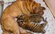 คลิป น่ารักจัง! แม่สุนัขเลี้ยงลูกเสือถูกทิ้งด้วยความรัก