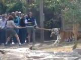 คนชักเย่อกับเสือ เสือ เสือโคร่ง สวนสัตว์ ชักคะเย่อ ชักกะเย่อ Tiger