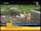 คลิป ชาวบ้านร้อง! ลูกหมูป่าถูกฝูงสุนัขรุมกัด ที่หมู่บ้านเมืองทองสุขสวัสดิ์
