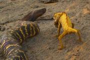 งูม้าลาย ทะเลทราย โหด กิน โจมตี กิ้งก่า เปลี่ยนสี สู้ตาย สมศักดิ์ศรี นับถือ หัวใ