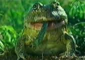 กบ บลูพร๊อก สายพันธุ์สยอง กินไม่เลือก ตะกละ ตัวใหญ่ โหด น่ากลัว แปลก หาดูยาก