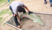 ปลายักษ์  ปลาอะเมซอล  อะราไพม่า  ปลาแปลก  ตกปลา