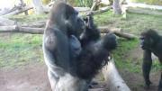 ลิงกอริลลา กินขี้ ลิงกินขี้ กอลิล่า Gorilla ลิงกอลิล่ากินขี้ กินขี้ตัวเอง ทำไปได้ กินได้ไง