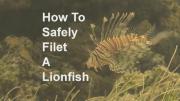 คลิป วิธีการแล่เนื้อปลาสิงโต