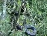 ลิง จ๋อ ชะตาขาด ดวงซวย งูเหลือม จู่โจม รัด กิน น่าสงสาร ชีวิตสัตว์โลก ปลง
