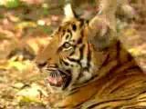 ชะนี ไม่กลัว เสือ