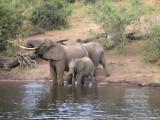คลิป ระทึก! คลิปจระเข้กัดงวงช้าง