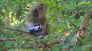 ลิง ลิงกัง กิน เป๊บซี่ อร่อย