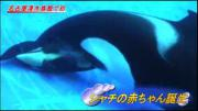 คลิป วาฬเพชรฆาตคลอดลูก กำเนิดชีวิตใหม่ อัศจรรย์แห่งโลกใต้น้ำ