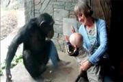 ลิงชิมแปนซี  ขอถีบซักที  หนูน้อย