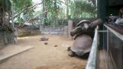 เต่า เต่าบก เต่ายักษ์ ซูโม่ หงายท้อง ขำๆ ฮาๆ