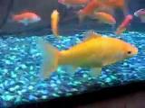 ปลาปิรันยา