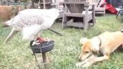 นกอินทรีย์แสนรู้ ป้อนอาหารให้น้องหมากิน