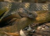 คลิป หนู ตะเภา โชคดี รอดตาย งูจงอาง เขมือบ กิน งูเห่า ทั้งเป็น สยอง ขนพอง กฎธรรมชาติ