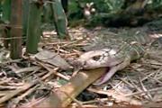 คลิป งูเห่าตาลาน  งูจงอาง