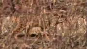 คลิป ส่องกล้องดู เเมวป่าล่านกกระเรียน