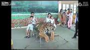คลิป ทารุณไปไหม ใช้ไม้ตีหัวเสือ บังคับให้ถ่ายรูปคู่กับนักท่องเที่ยว