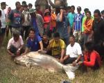 ชาวบ้านแตกตื่นจับปลาบึกยักษ์ขนาด 200 ก.ก.ได้ที่ แม่น้ำลพบุรี