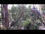 ลูกจ๋า อย่าไปไหน แม่หมีโคอาลา ปีนต้นไม้มาช่วยแล้ว