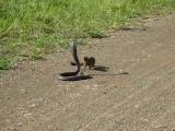 คลิป พังพอน vs งูเห่า สองคู่ปรับ ใครจะอยู่ใครจะไป