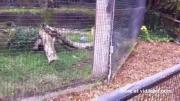 คลิป เสือดาว ฆ่ากระรอก