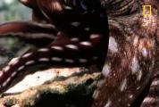 คลิป สุดอัศจรรย์ การผสมพันธุ์ของ ปลาหมึกยักษ์ สุดโรแมนติก