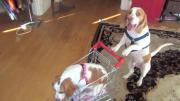 คลิป แม่สุนัข พา เจ้าตูบ ไปเที่ยวด้วยรถเข็นช็อปปิ้ง อย่างน่ารักเลย