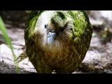 Kakapo Flightless Parrot นกแก้วที่ตัวใหญ่ที่สุดในโลก ใกล้สูญพันธ์เต็มที 1
