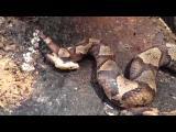 งูกัดตัวเอง ฟันจนหัวขาด