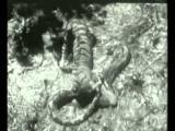 เสือ งู