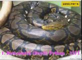 คลิป 10 อันดับ งูใหญ่ที่สุดในโลก
