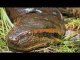 งู ยักษ์ อนาคอนด้า