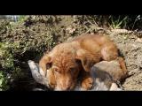 คลิป  สุนัขนอนเฝ้าซากน้องกว่า 2 วัน หลังโดนรถชนตาย