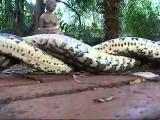 งู งูผสมพันธุ์