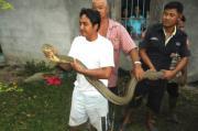 ตะลึง ! งู จงอางยักษ์ ใหญ่ที่สุด ในโลก