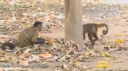 คลิป ลิงคาปูชินเพศเมีย ใช้วิธีปาหินเพ่อเรียกร้องความสนใจตัวผู้ ว่าพวกเธอพร้อมแล้วสำหรับการผสมพันธุ์