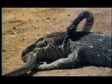 คลิป แมทช์ดุเดือด! มังกรโคโมโด ไล่ล่า งูเห่า