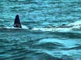 อย่างโหด วาฬเพชฌฆาต สังหาร ฉลามขาวยักษ์