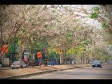 คลิป ถนนกัลปพฤกษ์ ขอนแก่น ดอกกัลปพฤกษ์ ดอกคูณ khonkaen