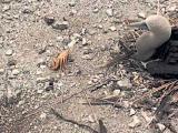 คลิป ปูผู้กล้าหาญ ตัดแขนตัวเอง เพื่อเอาตัวรอดจาก นก