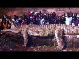 ชาวแอฟฟริกาจับจระเข้ยาวกว่า8เมตรที่กินคนนับไม่ถ้วน