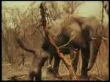 หาชมยาก! คนป่ามาไช ล่าช้างแอฟริกา อย่างโหด