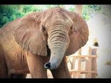 คลิป ช้างแอฟริกา African Elephant สวนสัตว์โคราช สวนสัตว์นครราชสีมา Nakhonratchasima Zoo
