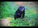 คลิป ลิงชิมแปนซี Chimpanzee ฝูงลิง ชิมแปนซี สวนสัตว์ นครราชสีมา ลิง