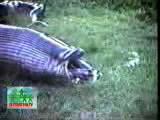 คลิป สุดสยอง!! งูกินควายย