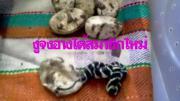 งูจงอางฟักไข่ได้ลูก 18 ตัว ชมรมงูจงอางฯ เตรียมเปิดศูนย์เรียนรู้ แนะนำวิถีชีวิตขอ