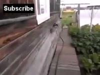 น่ารักอ่ะ... ชิวาวาอุ้มแมวเข้าบ้าน