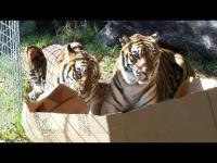 ไม่ใช่แค่แมวบ้านที่ชอบกล่อง เสือสิงโตแมวป่า ก็ชอบเหมือนกัน