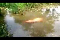 สัตว์ ควาย ดำน้ำ