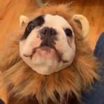 สิงโต หมา สุนัข น่ารัก